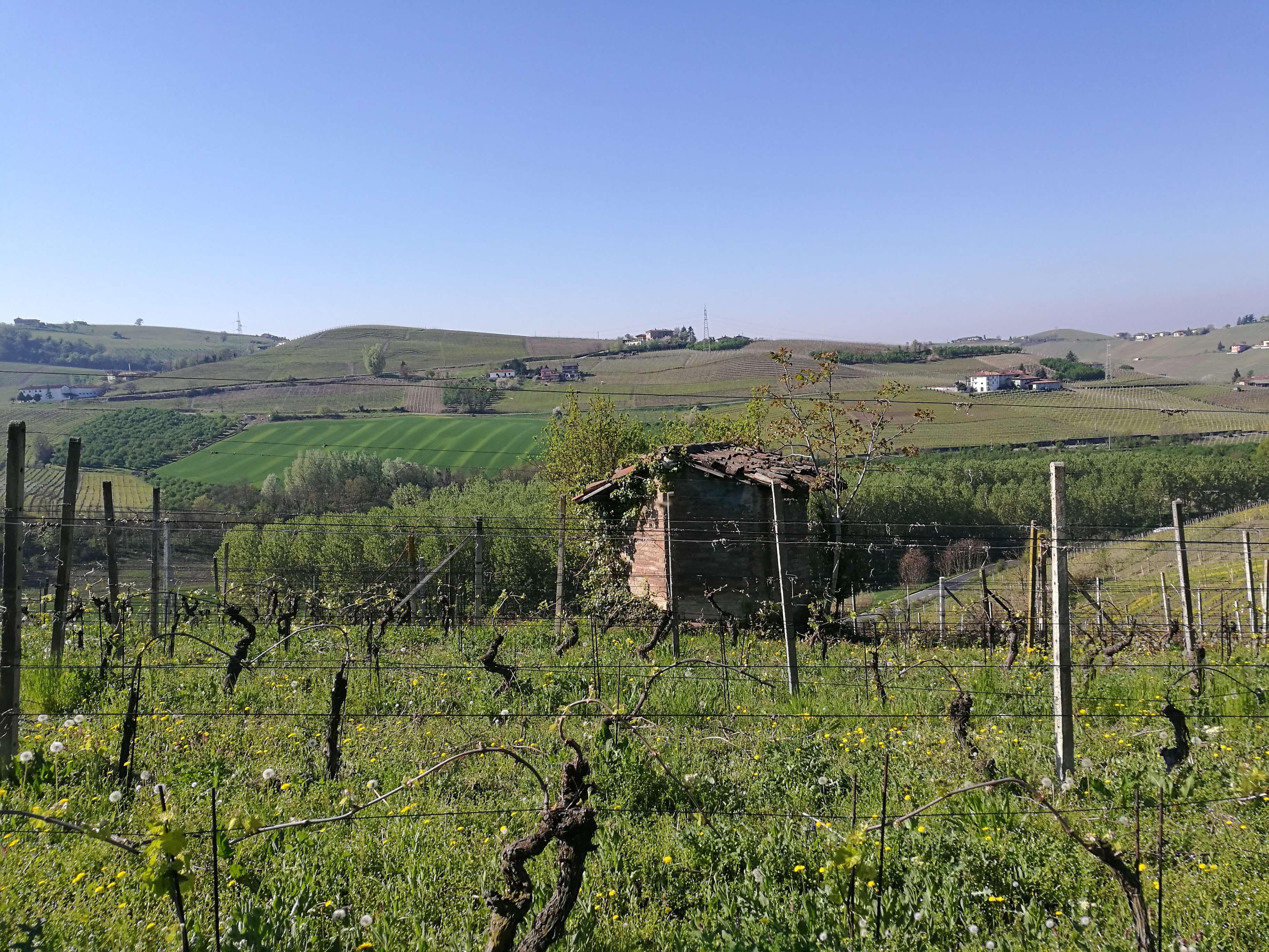 The Langhe vineyards in spring