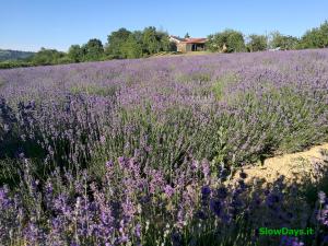 La Lavanda nelle Langhe: A giugno fiorisce!