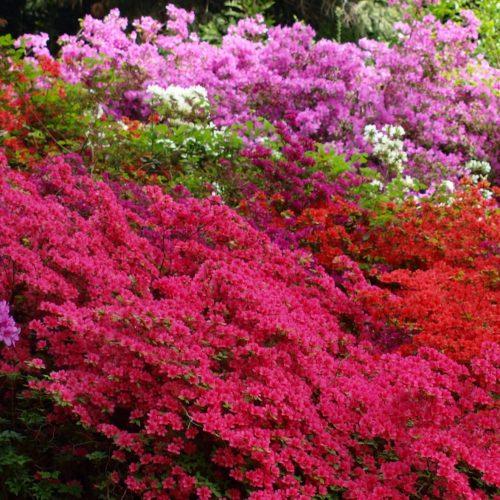 Fioritura rododendri al Parco della Burcina