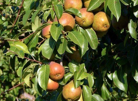 La pera Madernassa del Roero