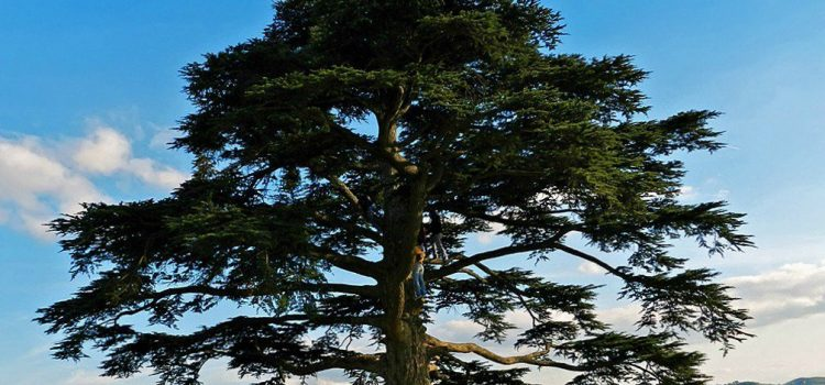 cedro del libano la morra langhe